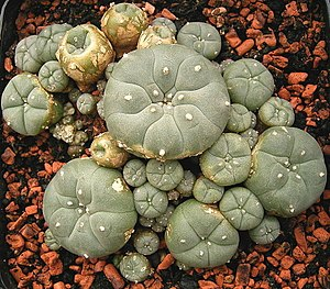 Peyote - A group of Lophophora williamsii.