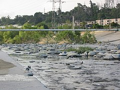 Los Angeles River Anas platyrhynchos.jpg