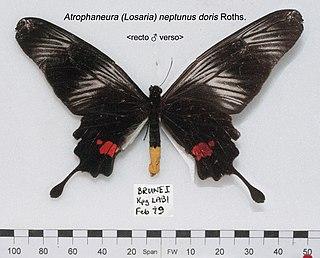 <i>Losaria neptunus</i> species of insect