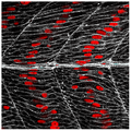 Loss of the receptor protein Jamb in zebrafish - journal.pbio.1001217.g001.png