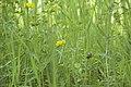 Lotus corniculatus (Lotier corniculé) - 2.jpg