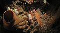 Lowfin Scorpionfish (Scorpaenodes parvipinnis) (6064329969).jpg