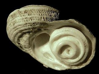 Operculum (gastropod) - Shell of marine snail Lunella torquata with the calcareous operculum in place