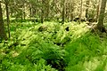 Lush undergrowth Björnlandet national park.jpg