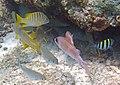 Lutjanus apodus (schoolmaster) (San Salvador Island, Bahamas) 5 (16181484742).jpg