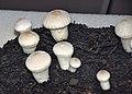 Lycoperdon gemmatum (gem-studded puffball) 1.jpg