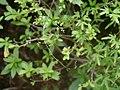 Lygodium japonicum kanikusa22.jpg