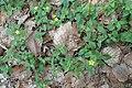 Lysimachia nemorum kz01.jpg