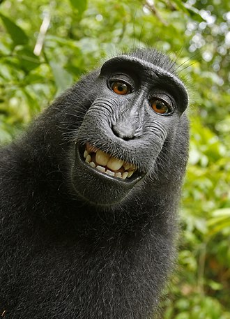 "Celebes crested macaque - Self-portrait photograph (the ""monkey selfie"")"