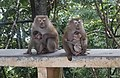 Macaque Monkeys from Monkey Hill, Phuket, Thailand (30980904047).jpg