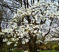 Magnolia cylindrica 1 Botanical Garden Heidelberg.JPG