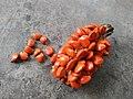 Magnolia hodgsonii seeds.jpg
