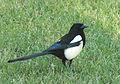 Magpie in Madrid (Spain) 95.jpg