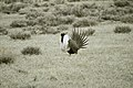 Male Greater Sage-Grouse (7094177925).jpg