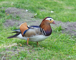 Male mandarin duck.png