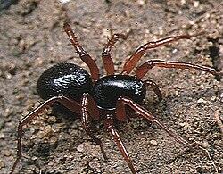 Mallinella.fulvipes.female.-.tanikawa.jpg