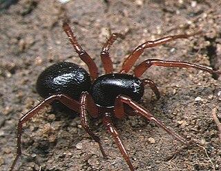 Ant spider family of arachnids