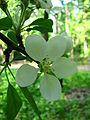 Malus orientalis blossom 02.JPG