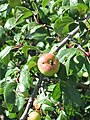 Malus sylvestris. Pumar, mazanal muxín (frutu).jpg