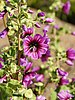 Malva dendromorpha (flowers).jpg