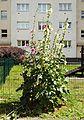 Malwa różowa 97A-53.jpg