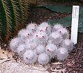 Mammillaria geminispina Haw 01.jpg