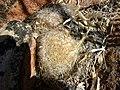 Mammillaria guelzowiana (5729364119).jpg