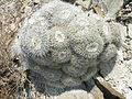 Mammillaria parkinsonii (5780103801).jpg
