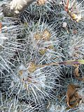 Mammillaria parkinsonii (5780147317).jpg