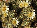 Mammillaria prolifera20100407 076.jpg