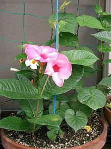 Mandevilla cv Best Red1.jpg