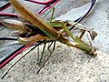 Mantis Tenodera aridifolia01.jpg