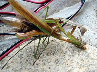 Female Chinese mantis eats a male copulating with her. Mantis Tenodera aridifolia01.jpg