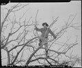 Manzanar Relocation Center, Manzanar, California. Pruning trees at this War Relocatin Authority cen . . . - NARA - 536874.tif