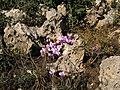 Maquis with flowering Cyclamen - panoramio.jpg