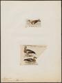 Mareca americana - 1700-1880 - Print - Iconographia Zoologica - Special Collections University of Amsterdam - UBA01 IZ17600447.tif