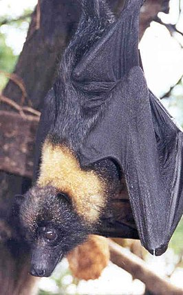 Mariana fruit bat or mariana flying fox or fanihi animal pteropus mariannus.jpg