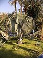 Maroc 2005 (530)BISMARCKIA rub.JPG