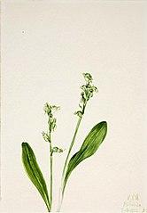 One-Leaf-Bog-Orchid (Habenaria obtusata)
