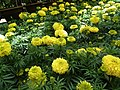 Marygold from Lalbagh flower show Aug 2013 8171.JPG