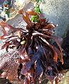 Mastocarpus papillatus, Cambria.jpg