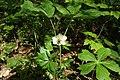 Mayapple flower 1.jpg
