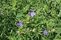Meadow Cranesbill - geograph.org.uk - 842549.jpg