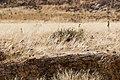 Meerkats (3689582979).jpg
