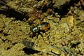 Megacephala australasiae.jpg