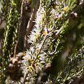 Melaleuca brevifolia.jpg