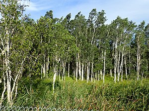 Melaleuca quinquenervia - M. quinquenervia trees