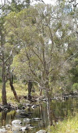 Melaleuca linariifolia - Image: Melaleuca tree