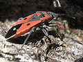 Melanocoryphus albomaculatus - Ballans20061213 46.jpg