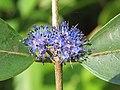 Memecylon umbellatum flowers at Peravoor (45).jpg